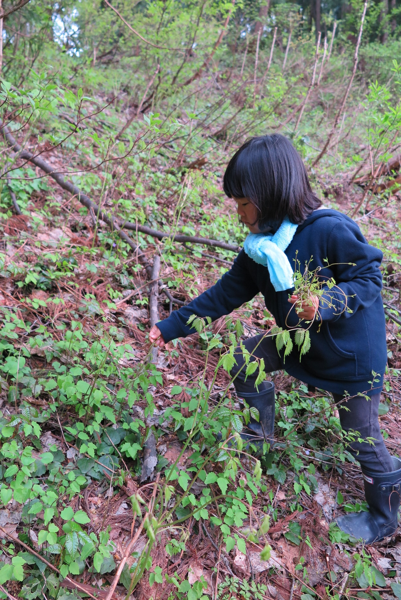 山菜採り あけびの芽