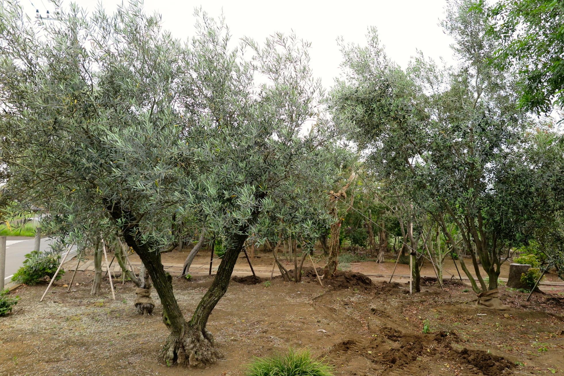 FURUYA PLANTS オリーブ