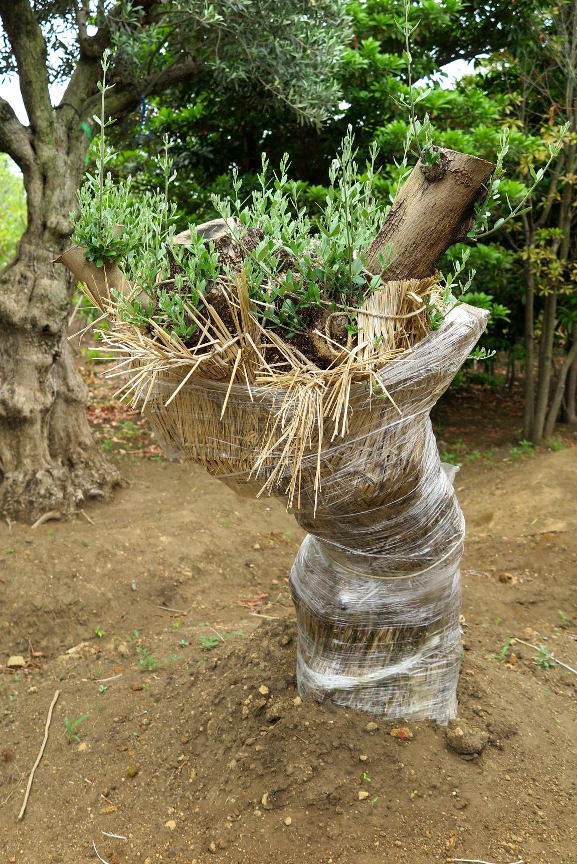 FURUYA PLANTS スペインオリーブ